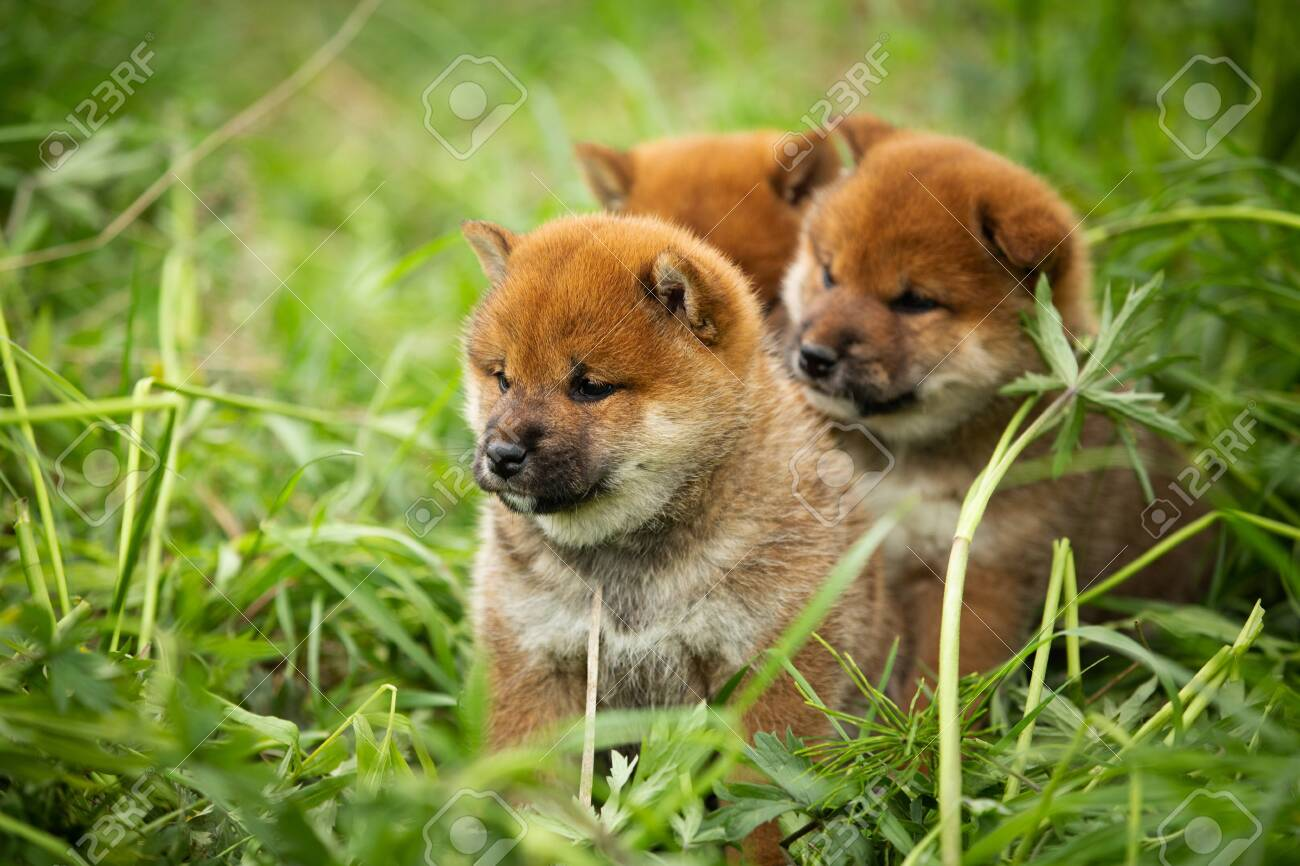 Group Of Beautiful And Cute Red Shiba Inu Puppies Sitting In Stock Photo Picture And Royalty Free Image Image 126550710