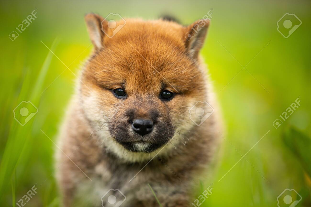 Close Up Portrait Of Funny And Cute Red Shiba Inu Puppy Walking Stock Photo Picture And Royalty Free Image Image 127910789