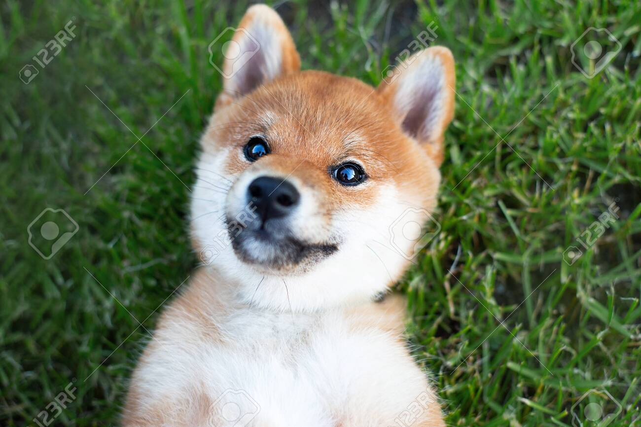 Portrait Of Funny And Happy Shiba Inu Puppy Smiles At The Camera Stock Photo Picture And Royalty Free Image Image 155532507