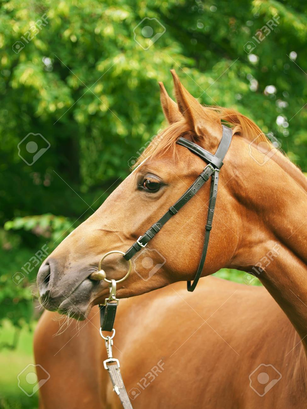 Portrait Of Beautiful Red Horse Stock Photo Picture And Royalty Free Image Image 11761913