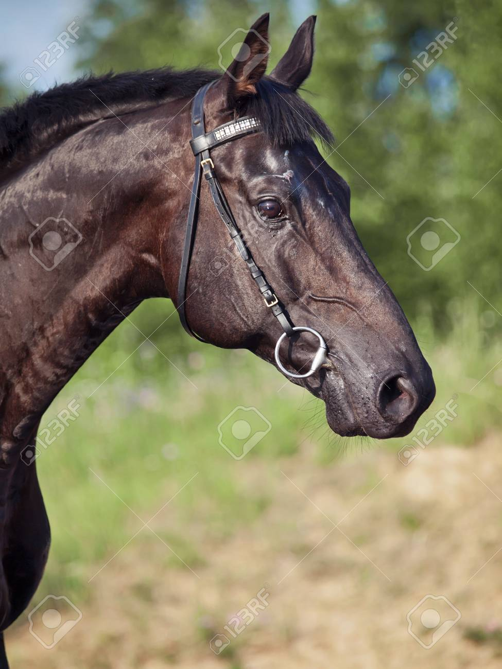 Portrait of  beautiful sportive black horse Stock Photo - 13370518
