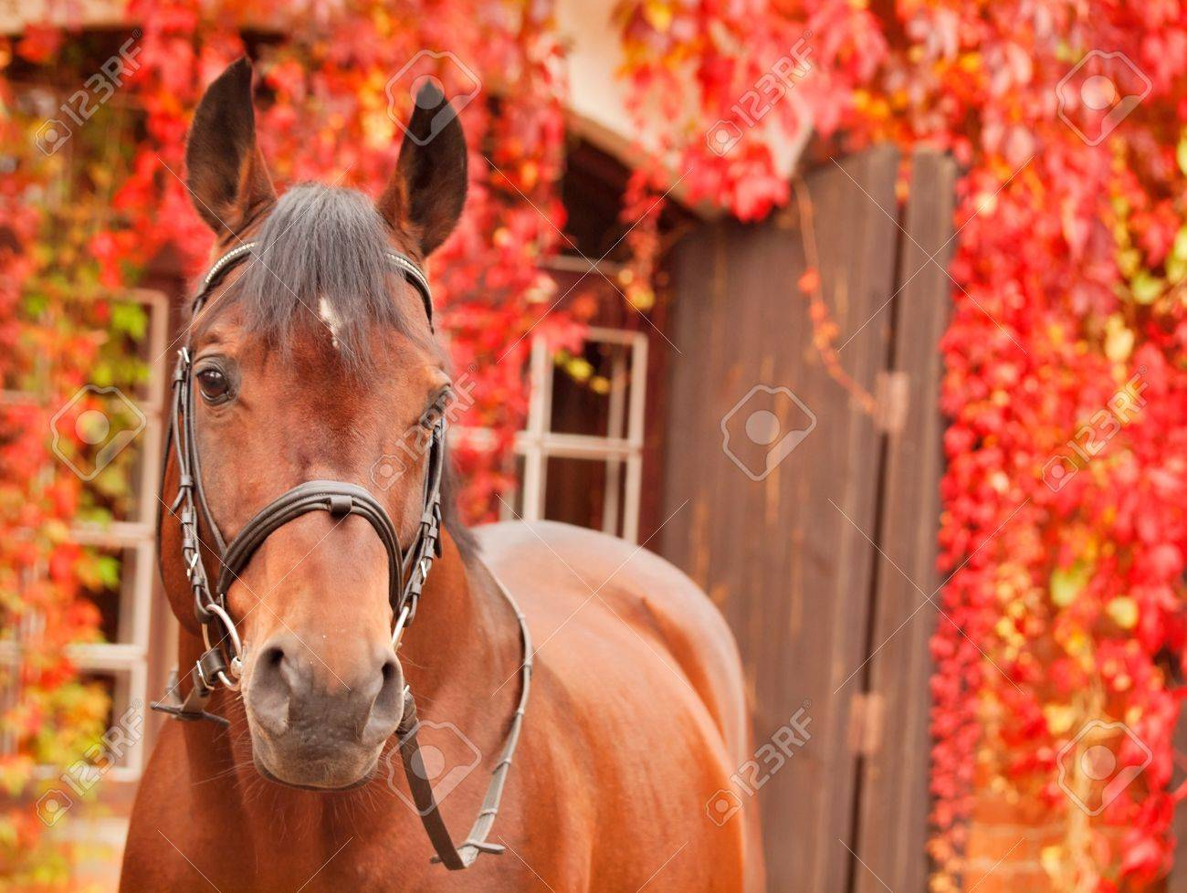 beautiful bay sportive horse autumn  portrait Stock Photo - 15865165