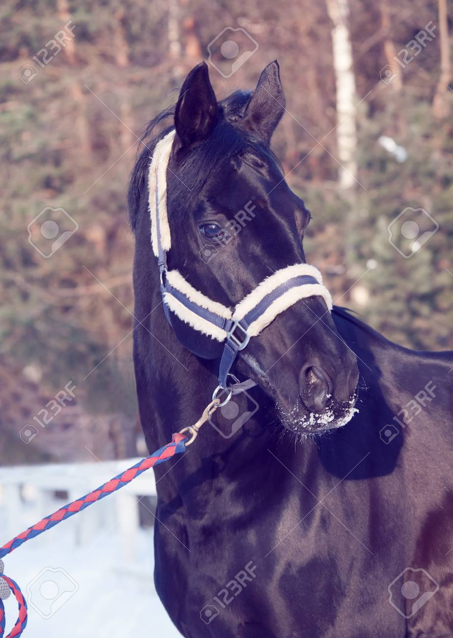 portrait of beautiful black horse. winter. outdoor Stock Photo - 18540891