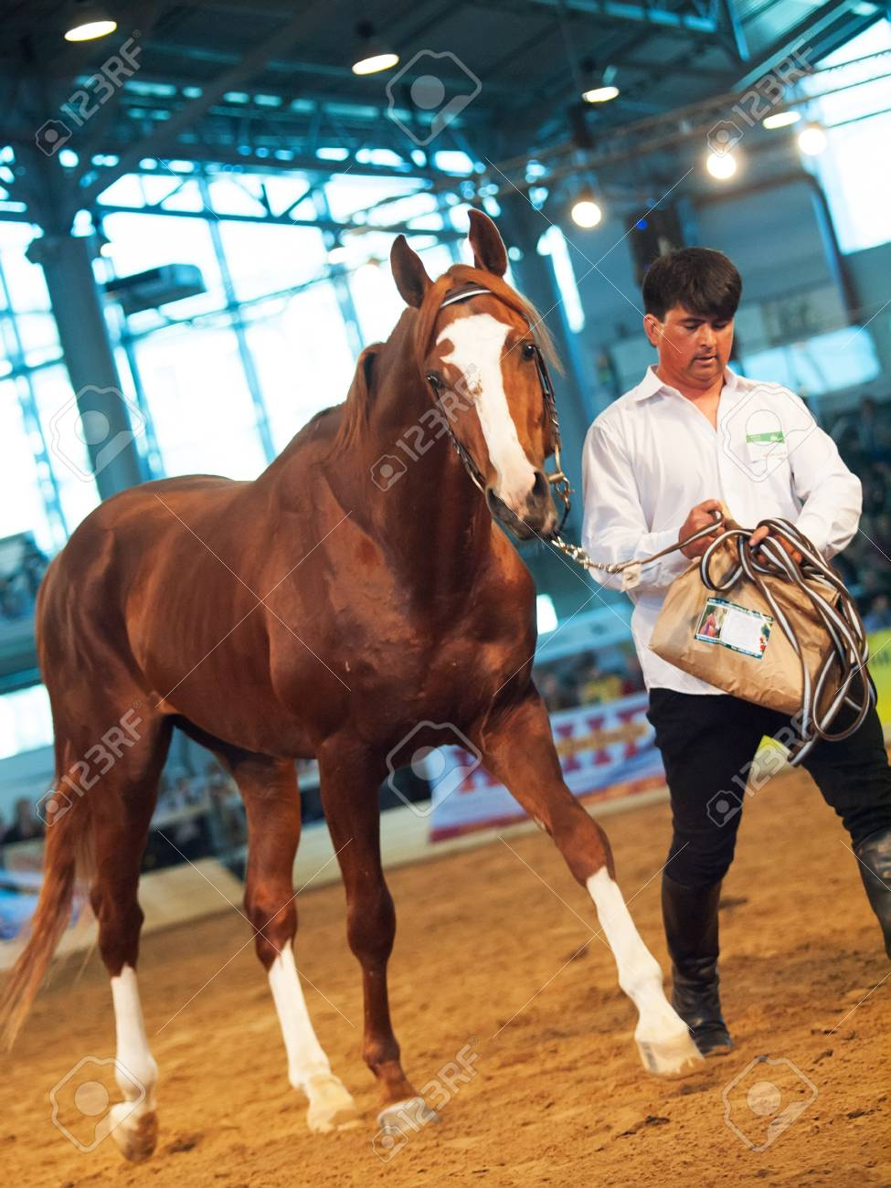 03 may 2013: chestnut russian stallion in the international exhibition, Russia. indoor Stock Photo - 19415193
