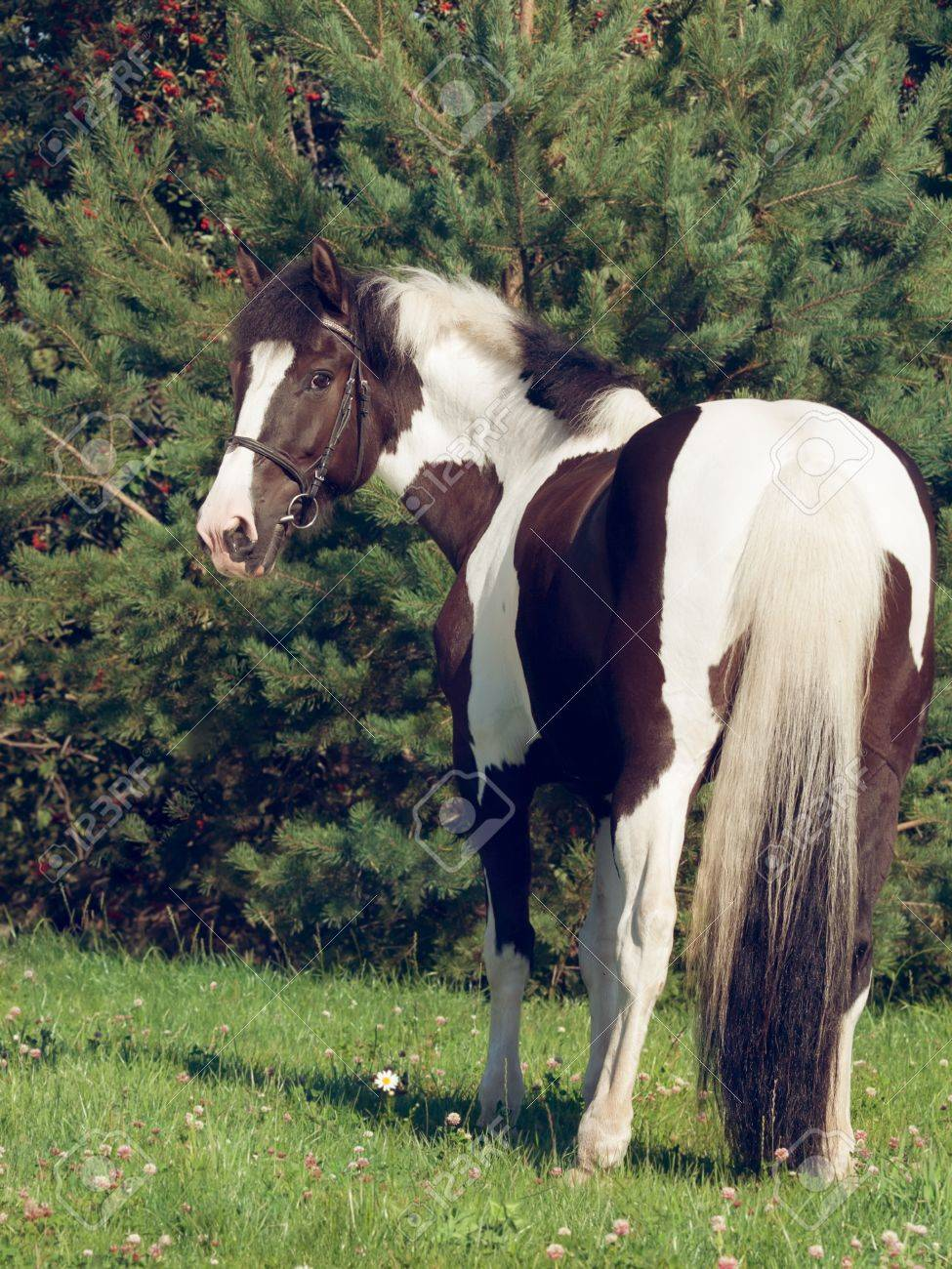 The Beautiful Paint Draft Horse Stock Photo Picture And Royalty Free Image Image 22073591