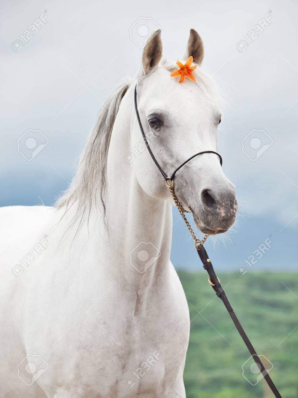 Portrait De Blanc Etonnant Etalon Arabe Avec La Fleur D Oranger