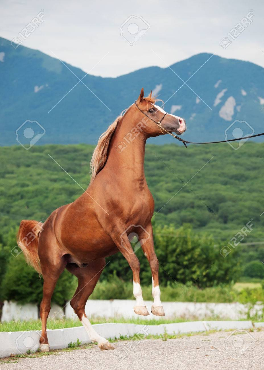 Arabian Chestnut Stallion Rearing Stock Photo Picture And Royalty Free Image Image 66132328
