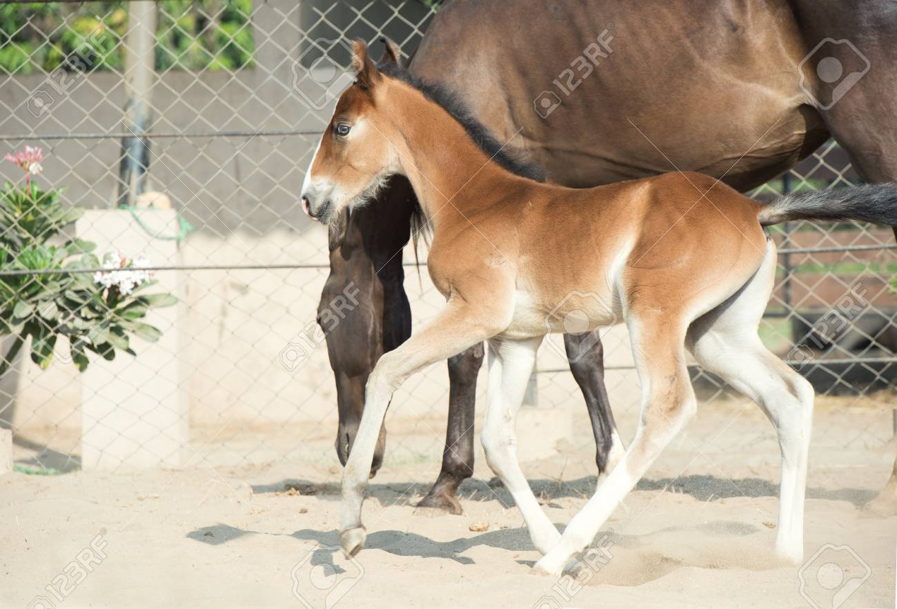 Baby Horse Running With Mom Stock Photo Picture And Royalty Free Image Image 73498816