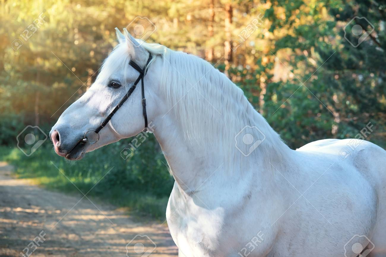 Portrait Of White Percheron Draft Horse In Forest Stock Photo Picture And Royalty Free Image Image 102846042