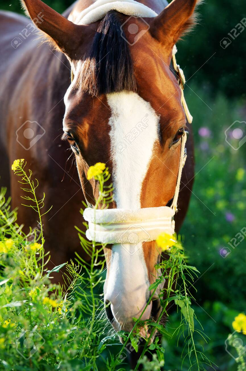 portrait of bay sportive horse posing in pasture. close up - 145198060