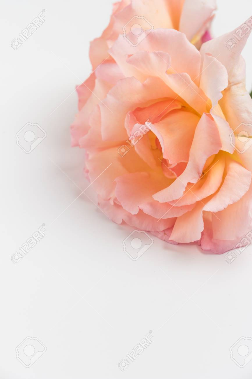 Fresh Bunch Of Pink Roses Flowers On White Background Pastel