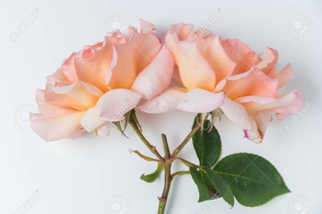 Fresh bunch of pink roses flowers on white background. Pastel floral wallpaper background from flower