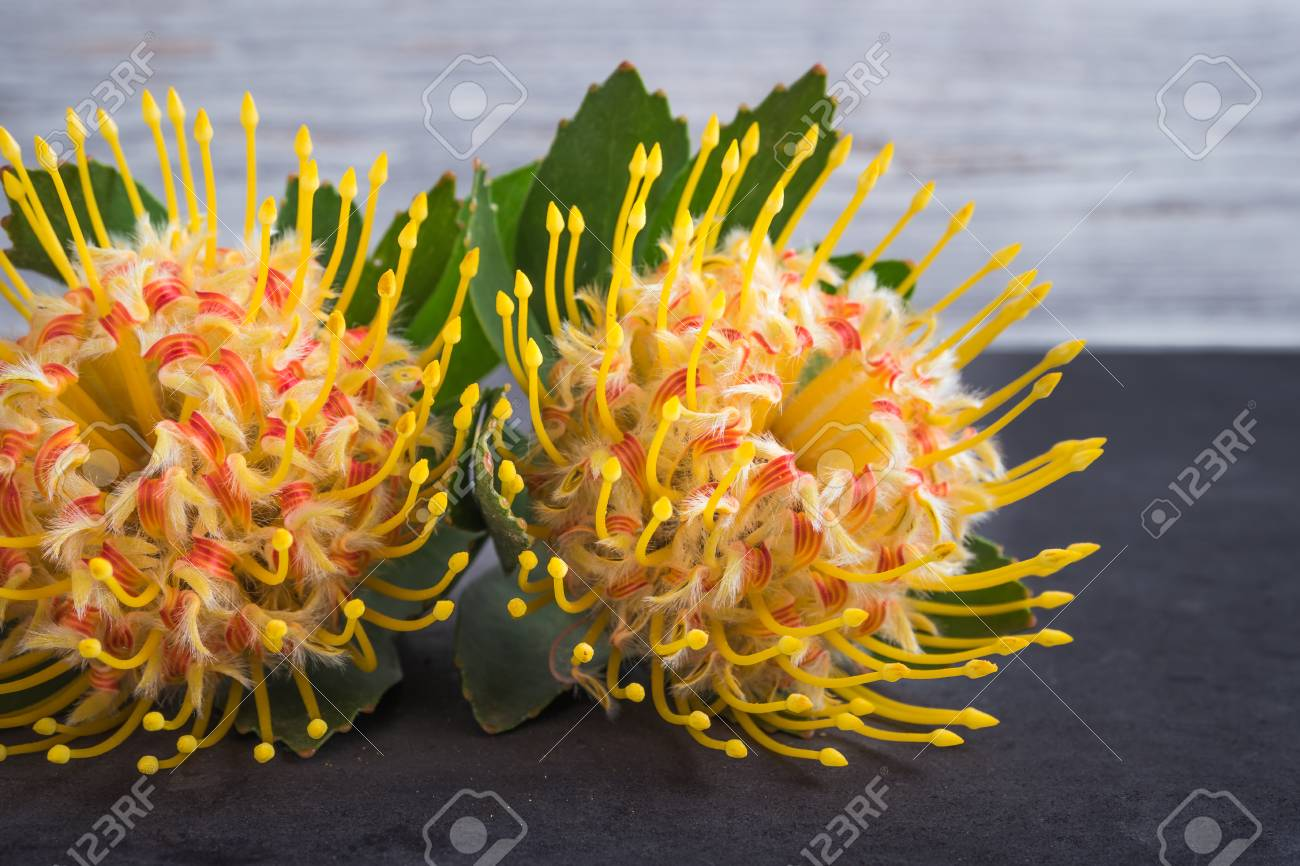 Yellow Leucospermum Cordifolium Flower Pincushion Protea On