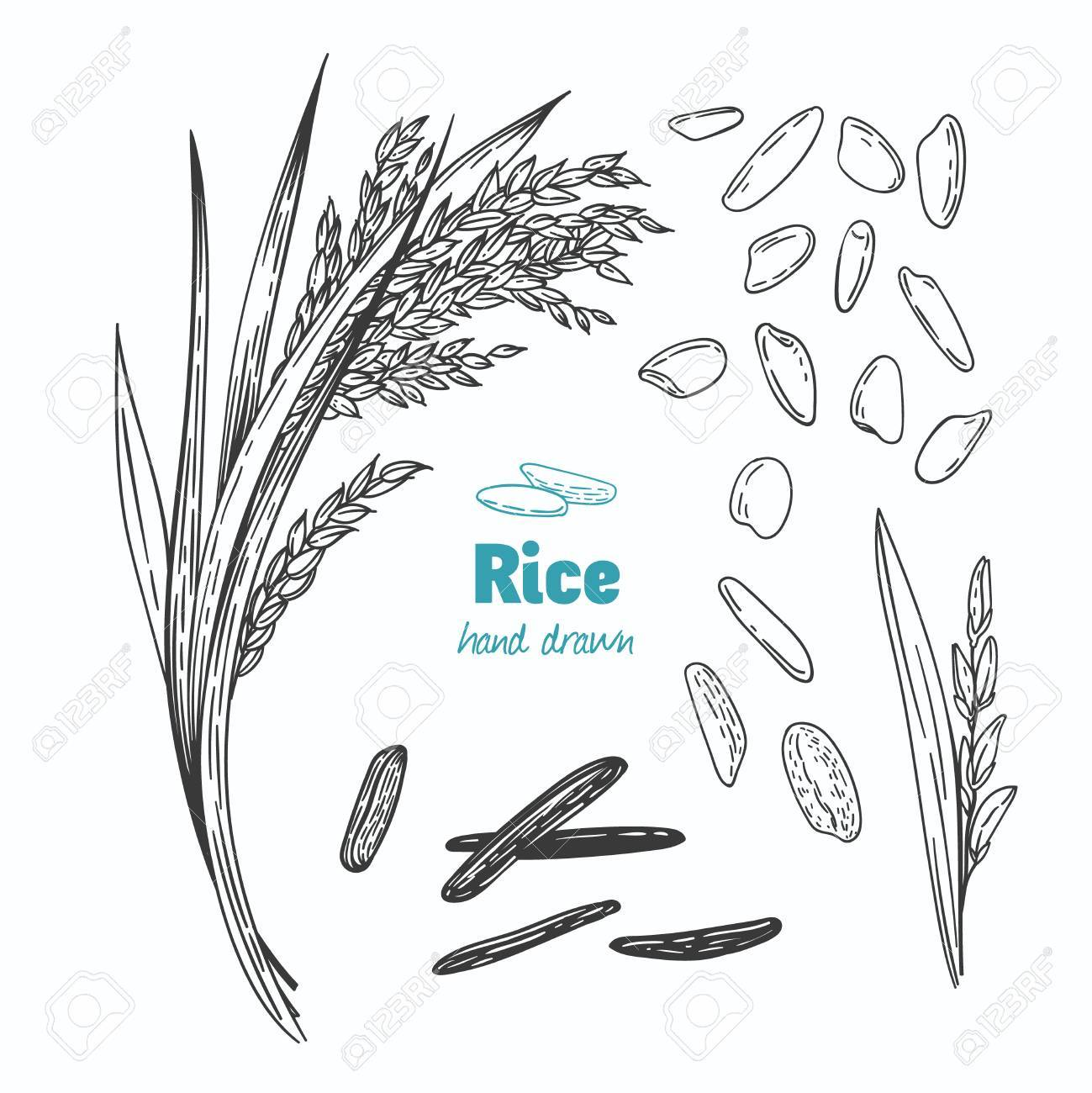 Detailed hand drawn vector black and white illustration of rice seeds and straw - 88355536