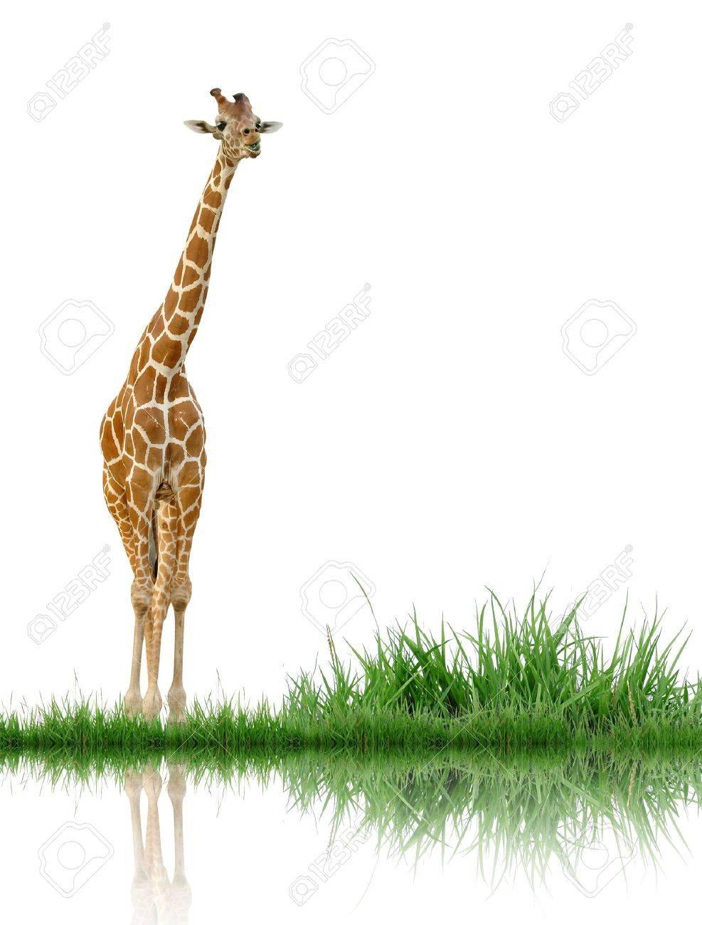 giraffe with green grass isolated stock photo picture and royalty