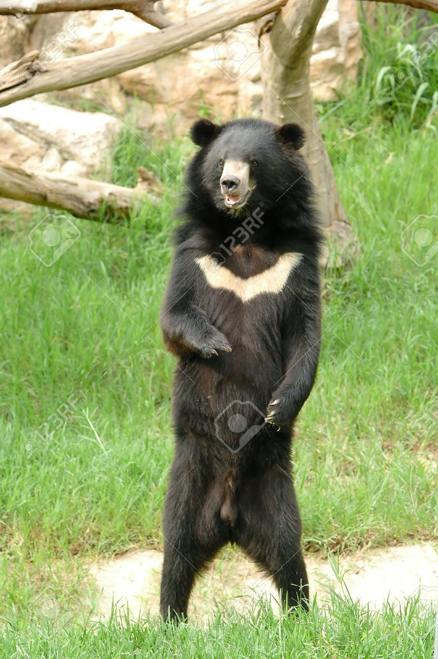asiatic black bear stock photo picture and royalty free image
