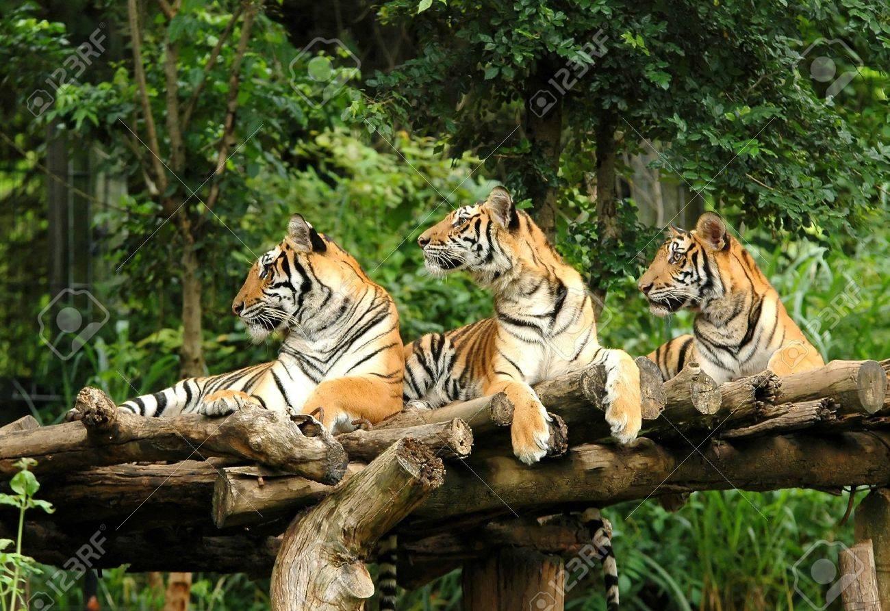 bengal tiger Stock Photo - 9001941