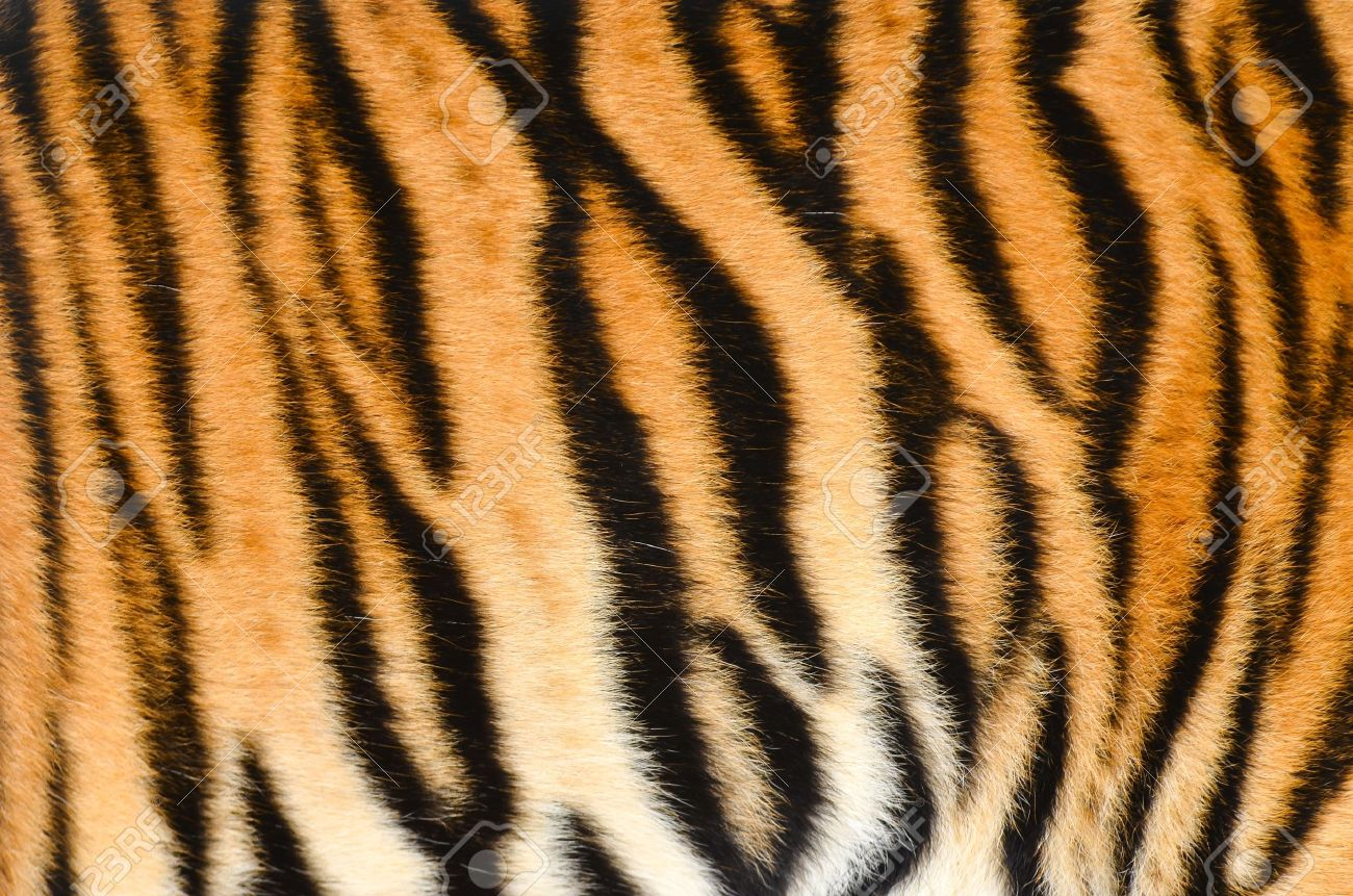 texture of real tiger skin   fur Stock Photo - 14677598