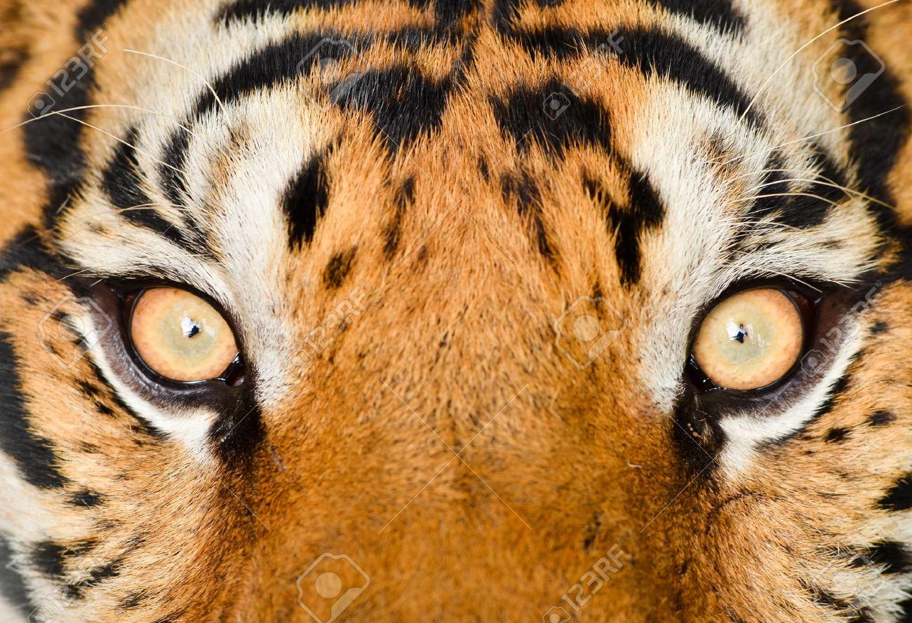 close up of tiger eye Stock Photo - 14677591