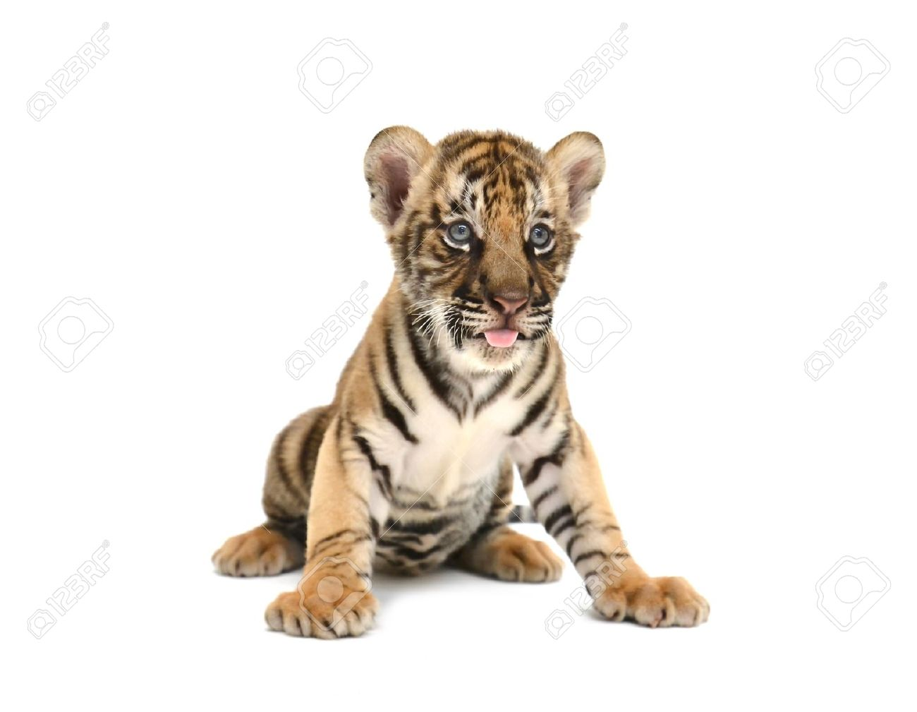 Baby Bengal Tiger Isolated On White Background Stock Photo ...