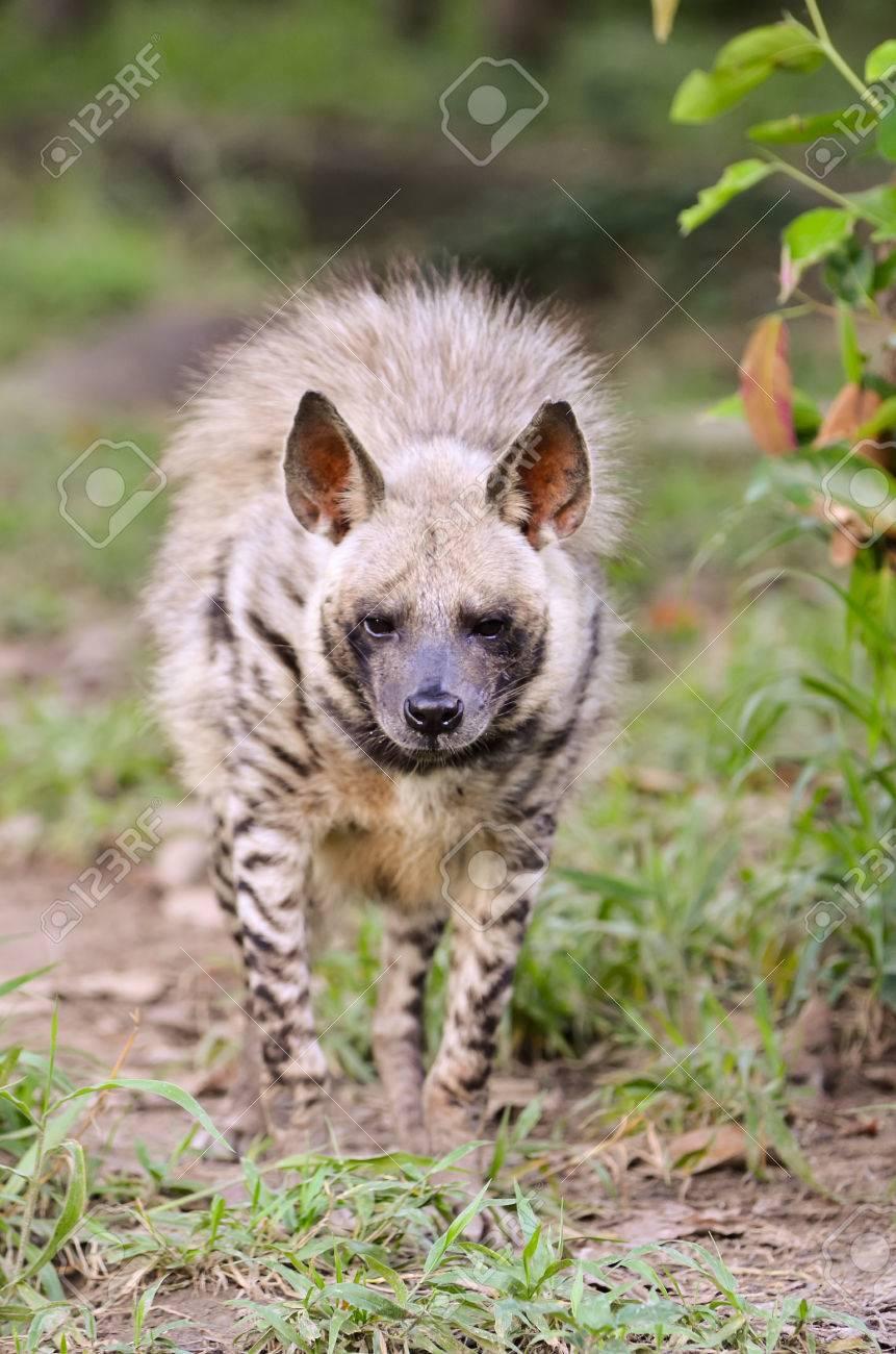 シマハイエナ、アフリカの野生動...