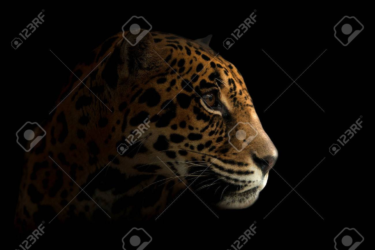 Jaguar Panthera Onca In The Dark Night Stock Photo 31498098