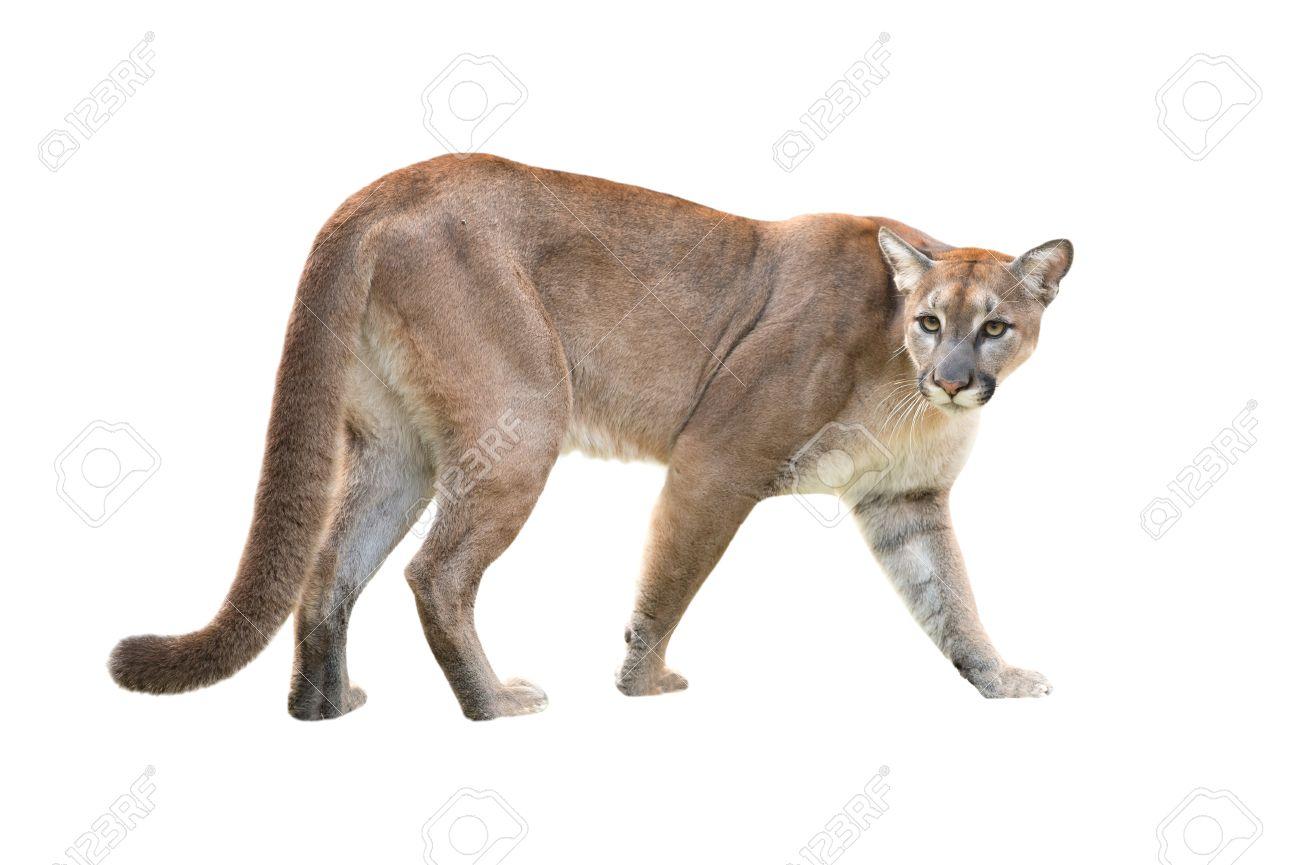 Puma скачать программу