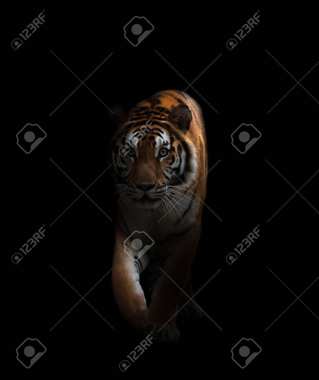 Ojos De Tigre Imagenes Y Fotos 123rf