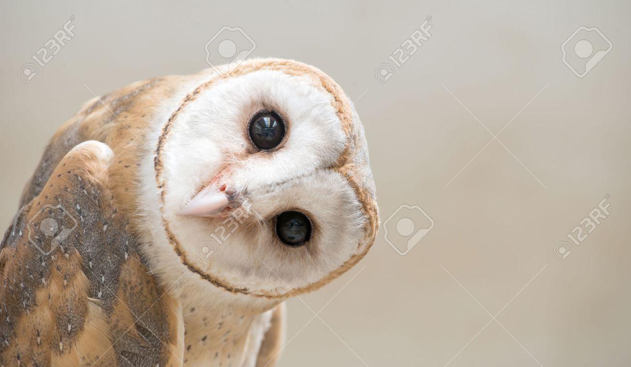 common barn owl ( Tyto albahead ) head close up - 54286307