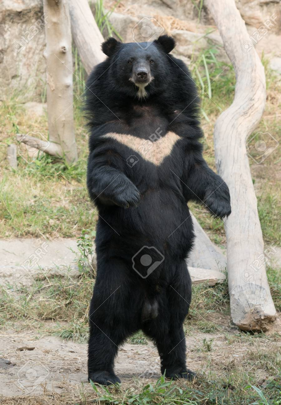 asiatic black bear in zoo stock photo picture and royalty free