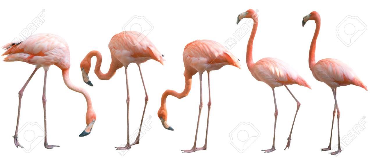 Beautiful flamingo bird isolated on white background - 94753967