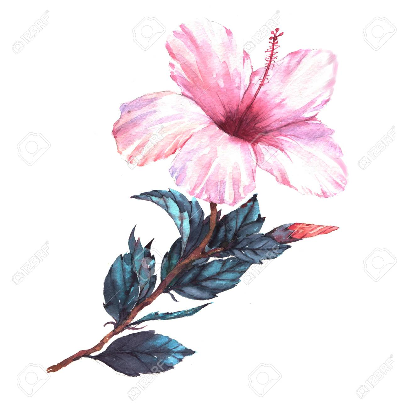 Hand Drawn Watercolor Floral Illustration Of The Tender White