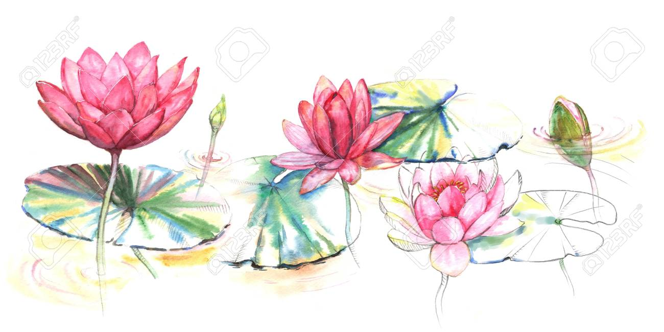 Hand Drawn Watercolor Illustration Of The Pink Lotus Flowers Stock