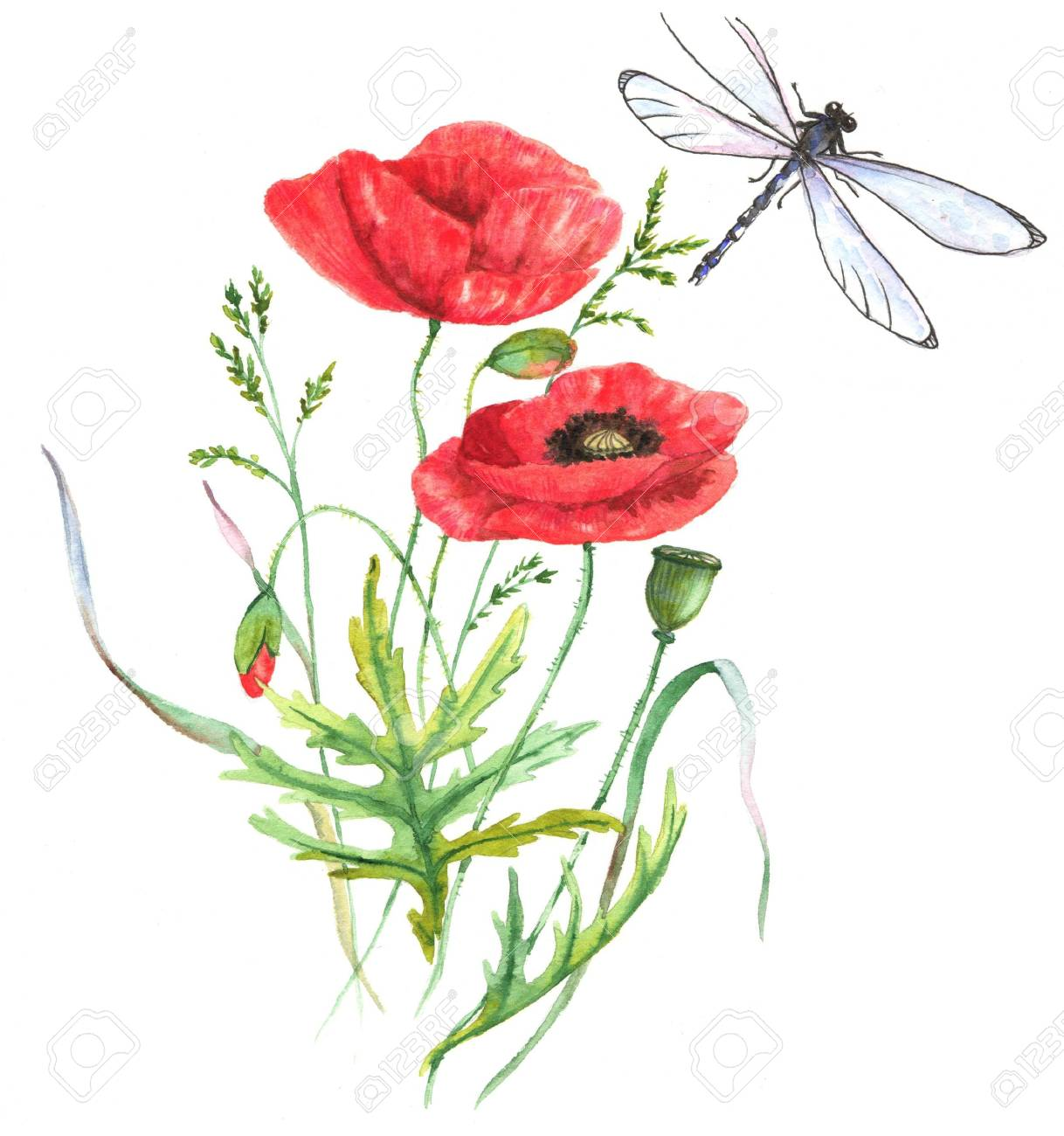 hand drawn watercolor illustration of the red summer poppy flower