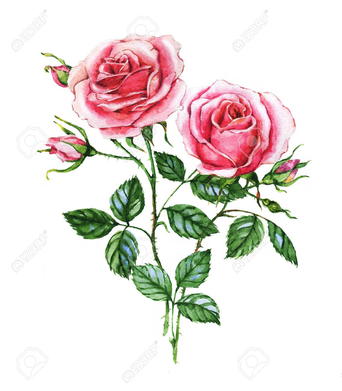 Watercolor Botanical Illustration Of Pink Roses Hand Painting