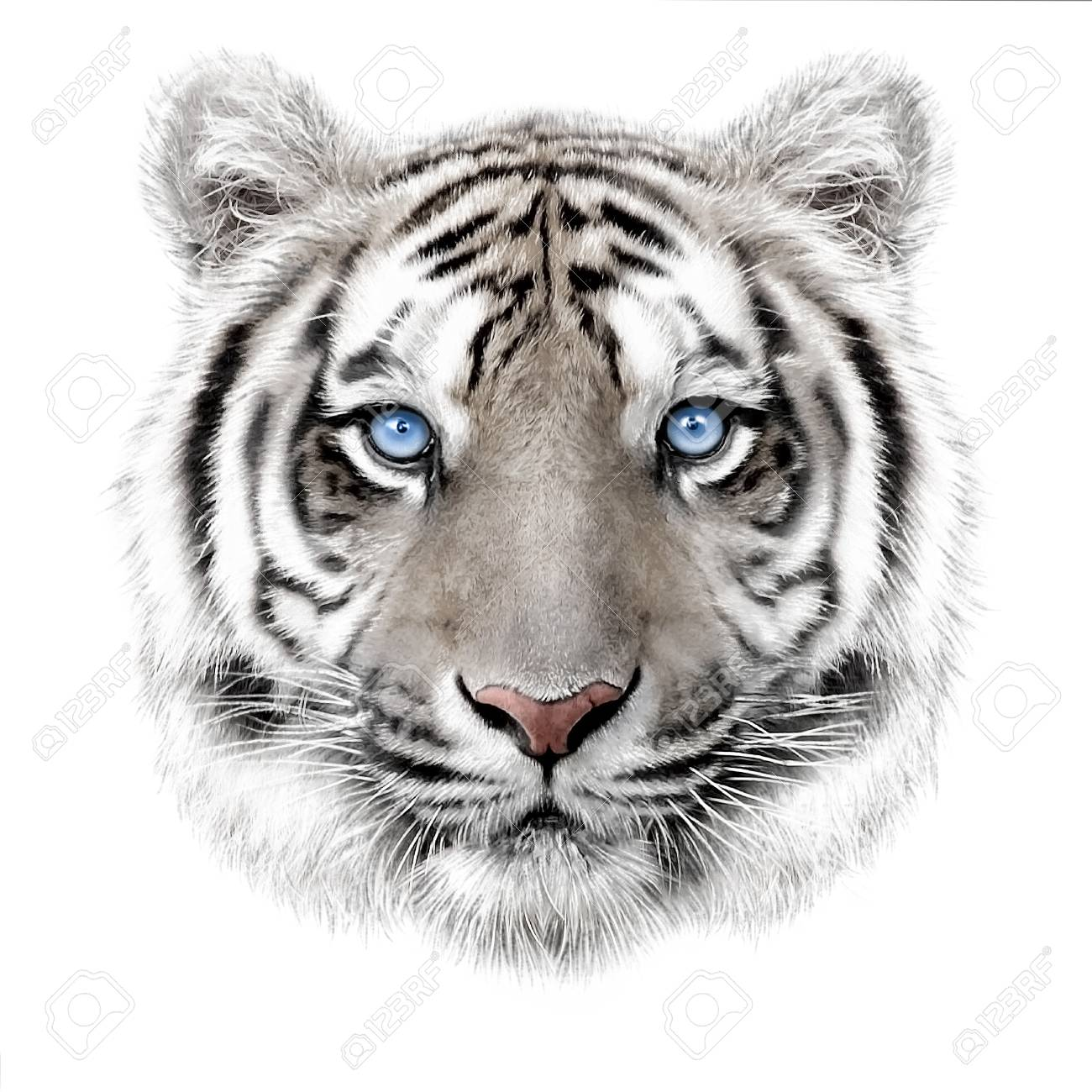 hand-drawing portrait of a white bengal tiger with blue eyes