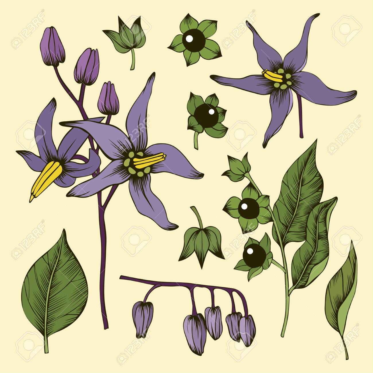 Deadly Nightshade Flowers Leaves Buds And Berries Royalty Free Cliparts Vectors And Stock Illustration Image 134377982