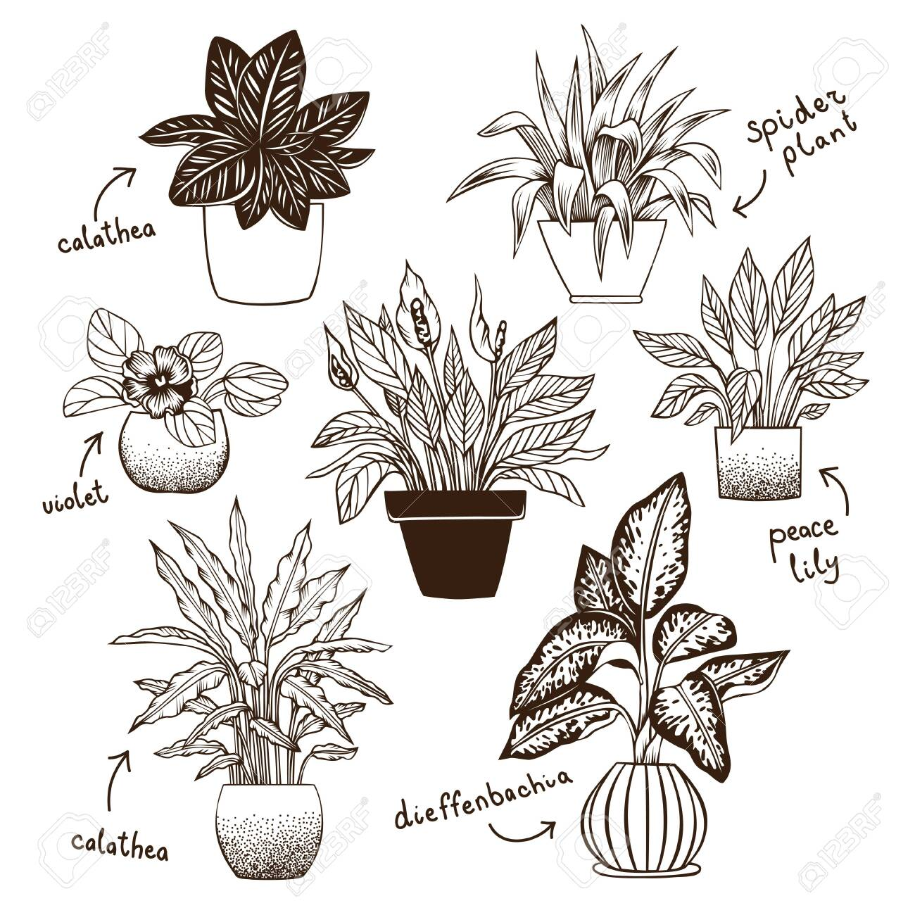 Calatheas Spider Plant Violet Peace Lily And Dieffenbachia Royalty Free Cliparts Vectors And Stock Illustration Image 141438459