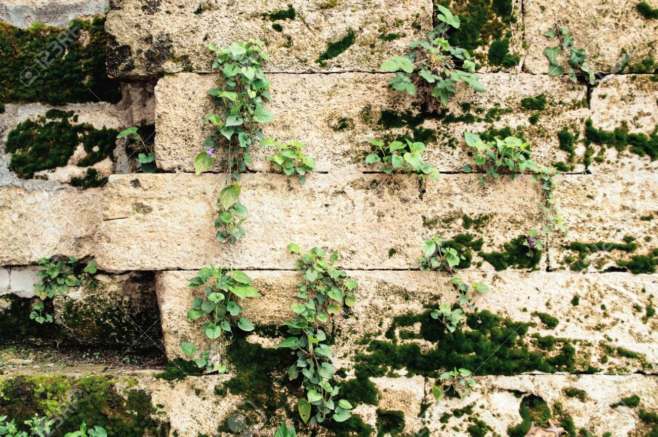Wall of an old stone with green moss and flowers. Background with plants. - 103505291
