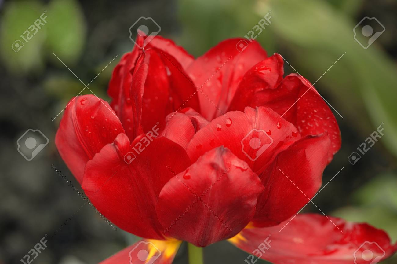 Blooming red tulip on a green background. Bokeh. Beautiful background. - 107192720