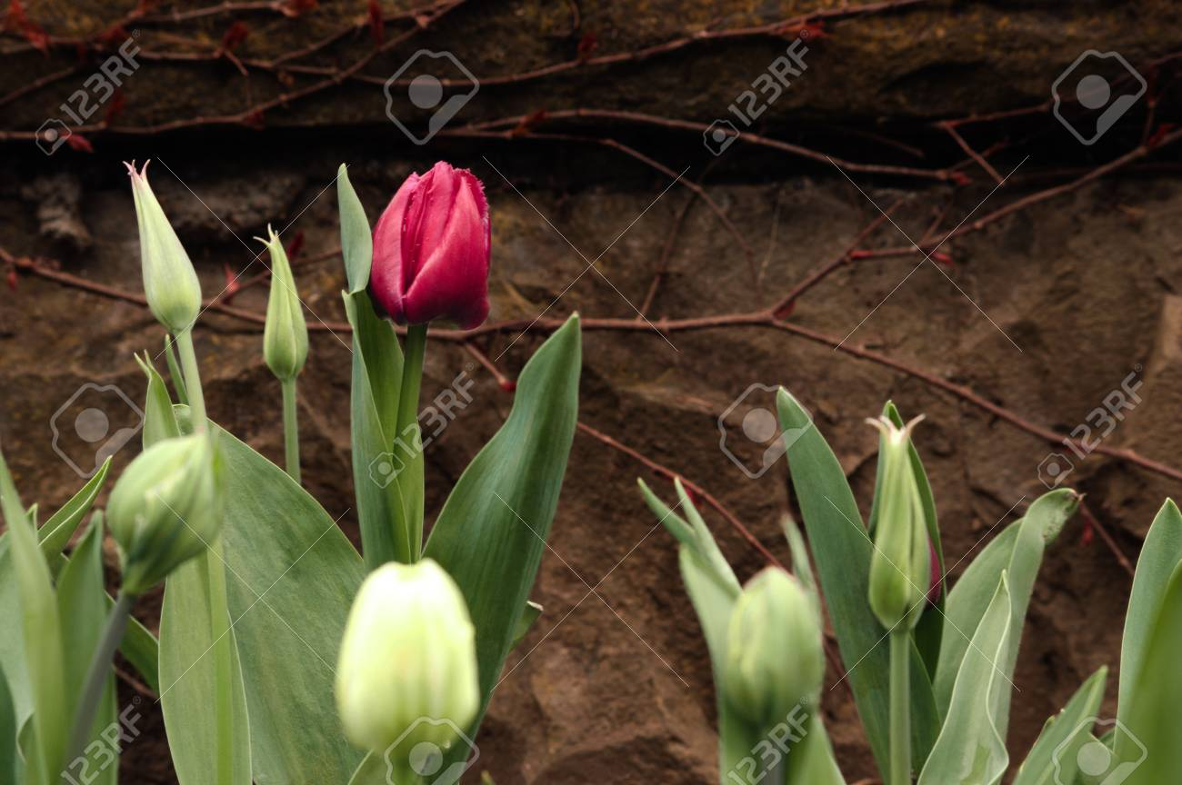Crimson tulip and not blooming buds on a background of brown stone wall. Background. - 107192725