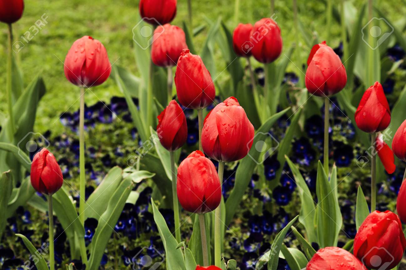 Red tulips and pansies after rain. Beautiful background - 107192743