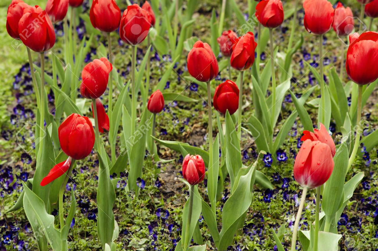 Red tulips and pansies after rain. Beautiful background - 107192747