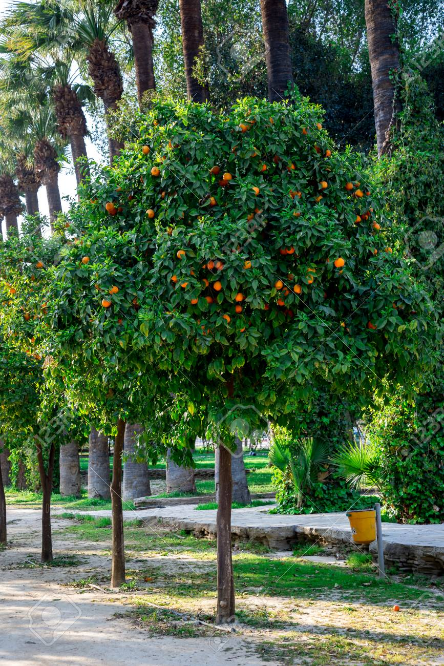 Orange trees in a park alley at Nicosia city, Cyprus