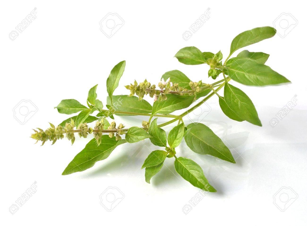 Basil flower Stock Photo - 21049220