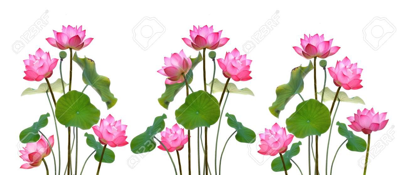 Lotus-Blume Auf Weißem Hintergrund. Lizenzfreie Fotos, Bilder Und ...
