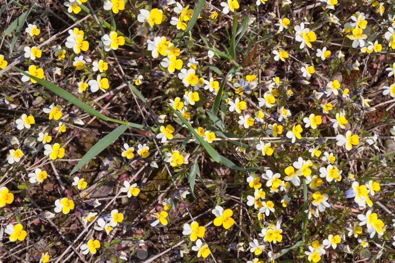 Small Yellow White Flowers On The Ground In Springtimetextura Stock