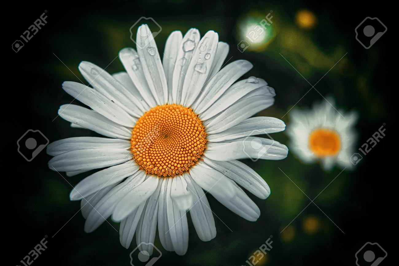 Beautiful daisy flower on spring green natural background stock beautiful daisy flower on spring green natural background stock photo 95591093 izmirmasajfo Choice Image