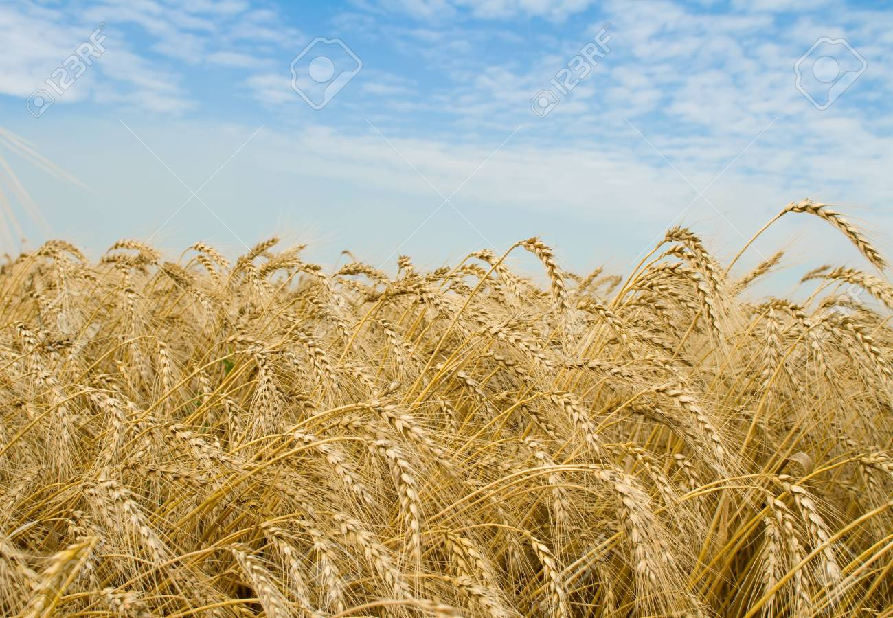 Golden wheat field and blue sky over it Stock Photo - 3341514