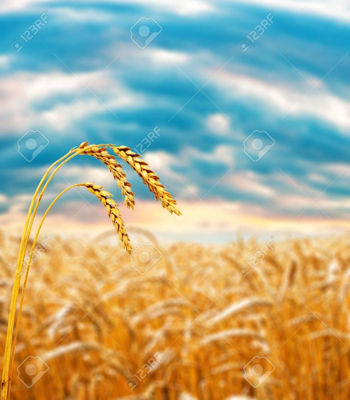 Ripe wheat ear in field under cloudy sky, shallow focus on ear Stock Photo - 4630178
